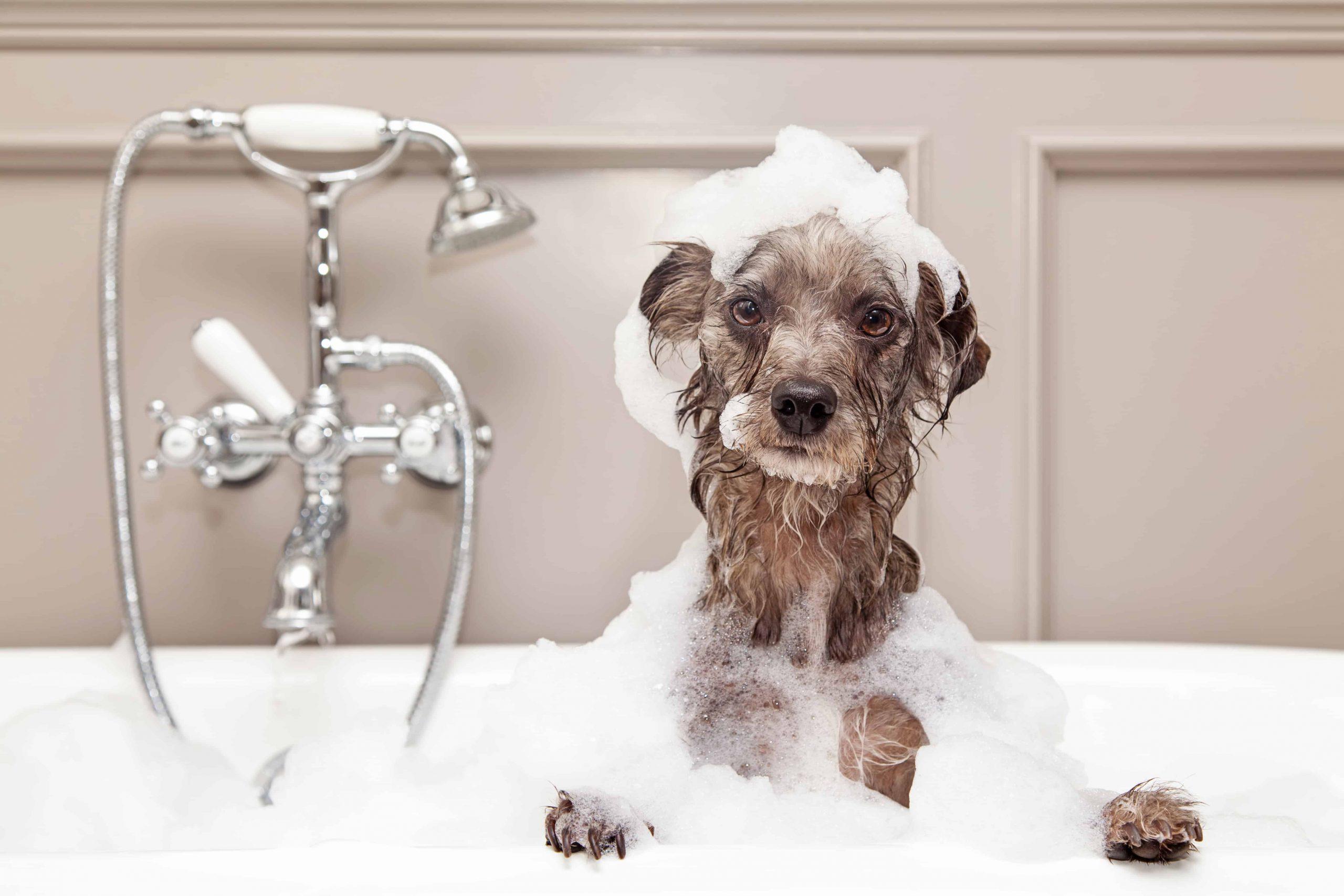 Shampoo para perros: ¿Cuál es el mejor del 2021?