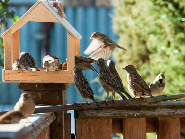 flock of sparrows sitting near wooden feeding trough outdoors