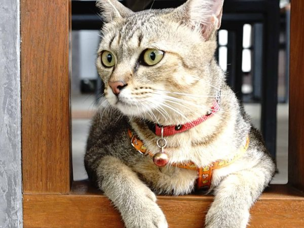 adorable brown cat  on the cement with harness orange color and Looking around