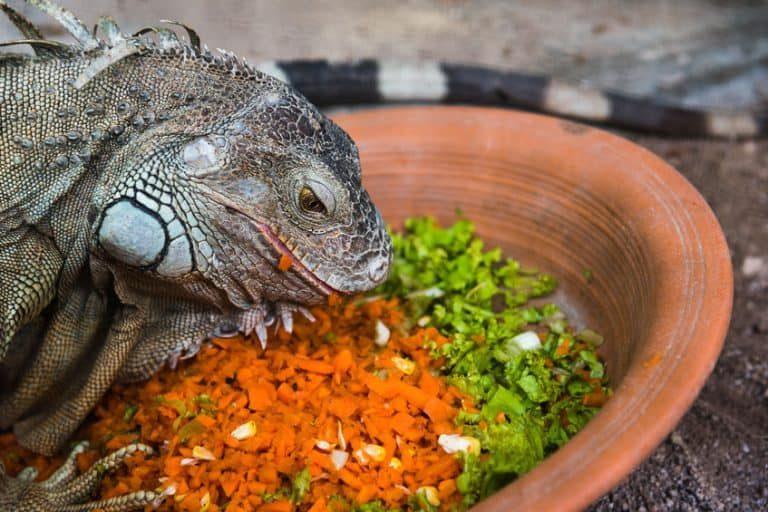Comida de iguana