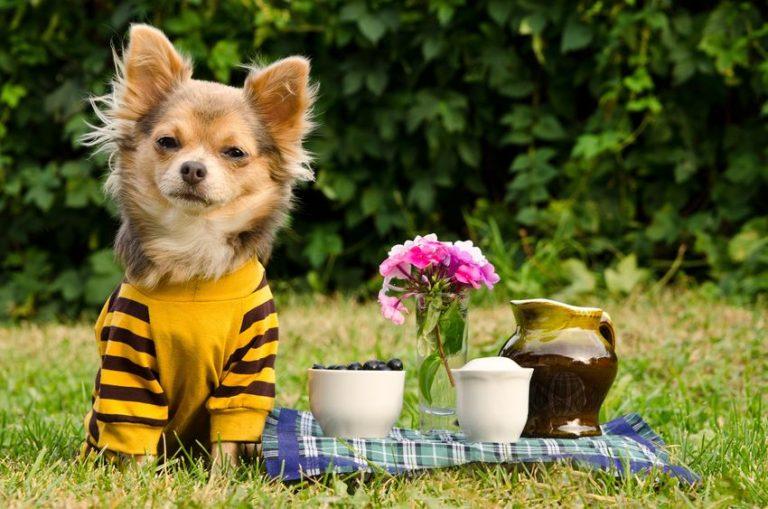 Chihuahua con jersey amarillo