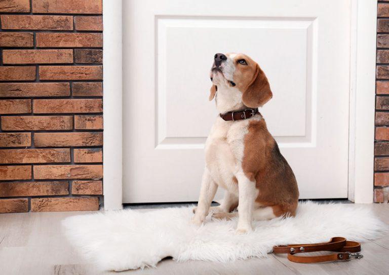 Perrito beagle