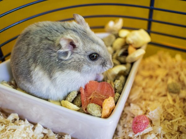 Hamster inside his cage sitting in the bowl of food