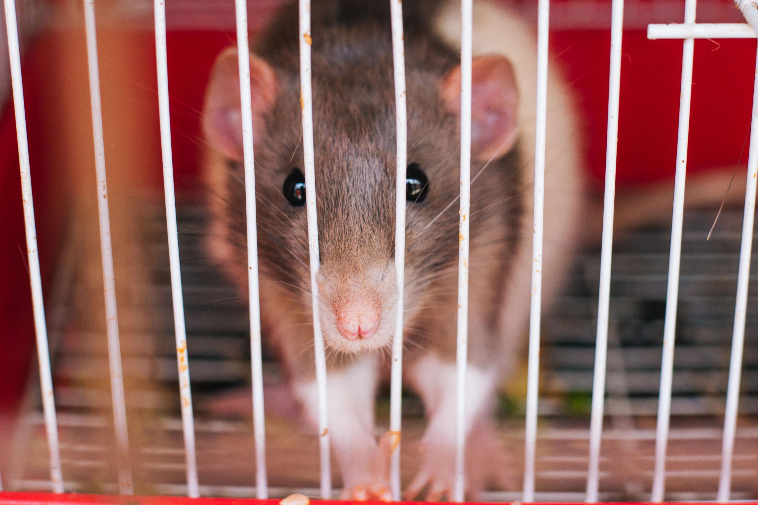trampas-para-ratones